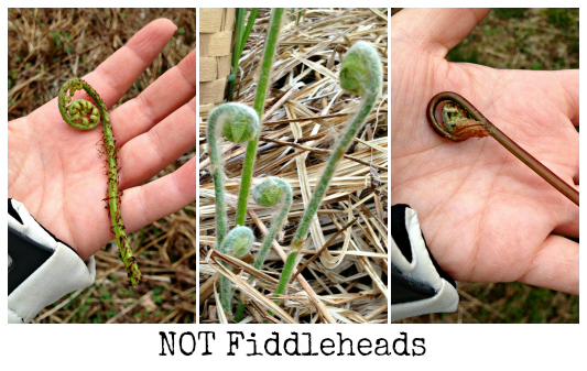 Not Fiddleheads